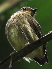 Club-winged-Manakin-Female
