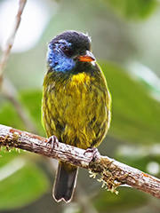 Mosback-Tanager