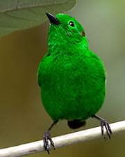 Glistening-green-Tanager_003497-240x180