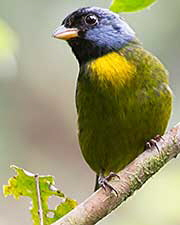 Moss-backed-Tanager_003614-180x240